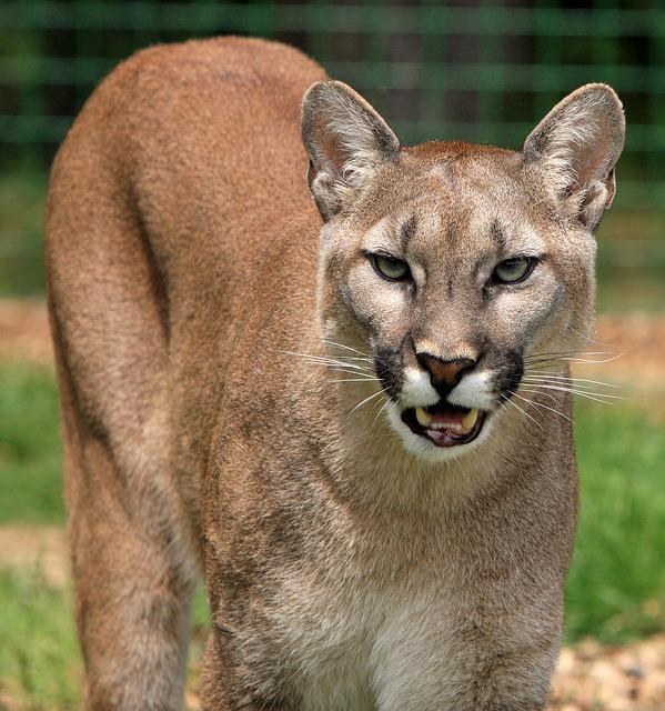 【嫁大好き】嫁「あたし、耳が立ってるのがコンプレックスなの」、俺「子ライオンみたいでw」